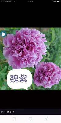 山东省临沂市平邑县洛阳红 2~4cm 20cm以上 0.5米以下