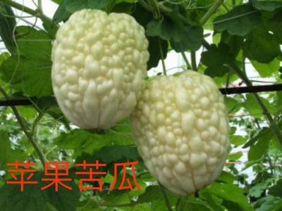 河南省安阳市汤阴县苹果苦瓜 22-25cm 8两以上