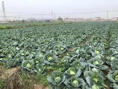 江苏省南通市启东市牛心甘蓝 1.0~1.5斤