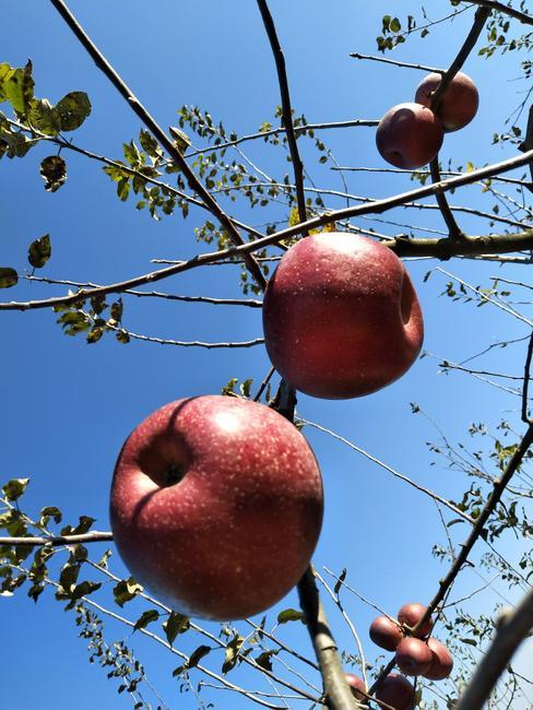 昭通苹果 光果 片红 80mm以上  约12.0斤/箱