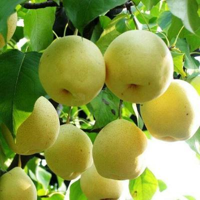 黄金梨树苗 1~1.5米