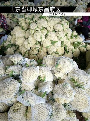 山东省聊城市东昌府区白面青梗松花菜 适中 2~3斤 乳白色