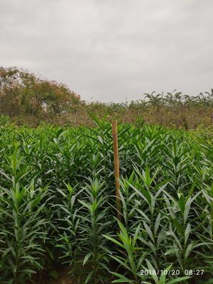 河南省许昌市鄢陵县夹竹桃 2公分以下 2公分以下 0.5~1.0米
