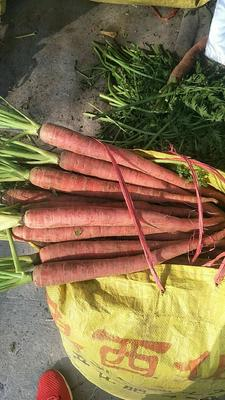 河南省商丘市民权县人参水果萝卜 15cm以上 2两以下 3cm以下