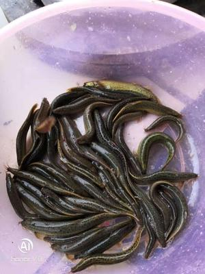 广西壮族自治区南宁市武鸣县台湾泥鳅 50-60尾/公斤 15cm以上 人工养殖