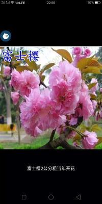 山东省临沂市平邑县日本红叶樱花 4公分以下 2~3米