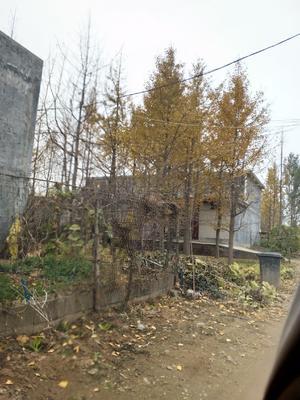 山东省临沂市兰山区银杏实生树