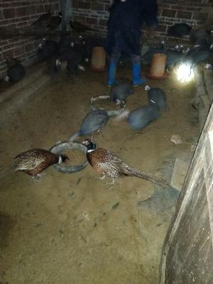 广西壮族自治区玉林市博白县贝蒂纳火鸡 5-10斤