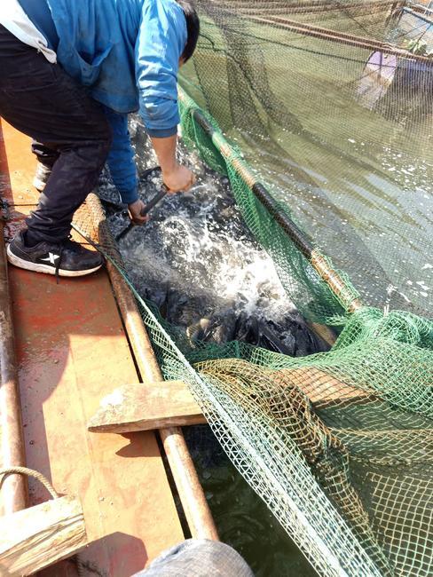 网箱草鱼人工养殖1-2.5公斤