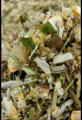 玉米青贮草 甜玉米青贮
