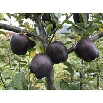 黑钻苹果苗 0.5~1米
