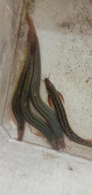 江西省赣州市兴国县台湾泥鳅 45尾/公斤 10-15cm 人工养殖