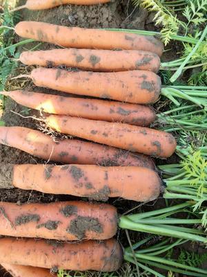 河南省开封市祥符区三红七寸参胡萝卜 15cm以上 3两以上 5cm以上