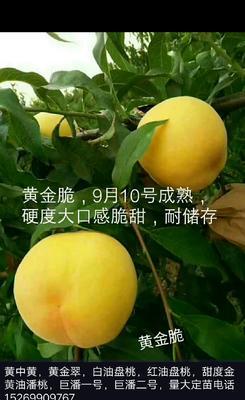 这是一张关于黄金脆桃苗 1~1.5米的产品图片