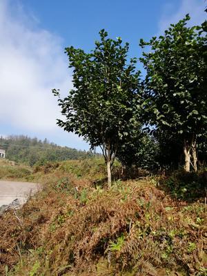 贵州省毕节市威宁彝族回族苗族自治县茶花树 140cm以上