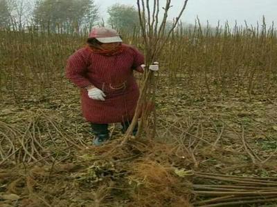 这是一张关于玛斯义陶芬苗的产品图片