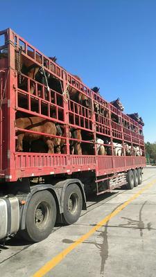 这是一张关于肉马 600-800斤的产品图片
