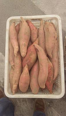 河北省沧州市东光县烟薯25 红皮 3两~6两