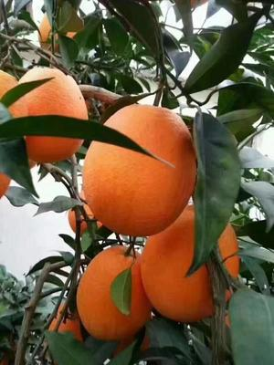这是一张关于纽荷尔脐橙 80-85mm 4-8两的产品图片