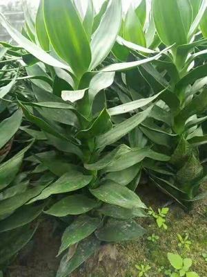 这是一张关于观音竹的产品图片