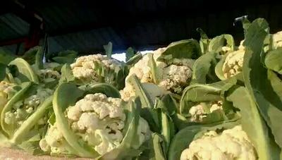 这是一张关于有机花菜 松散 2~3斤 乳白色的产品图片