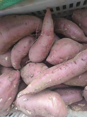 山东省泰安市东平县商薯19号 红皮 混装通货