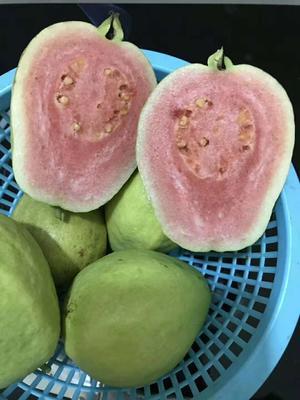 广西壮族自治区来宾市象州县胭脂红番石榴 200-250克