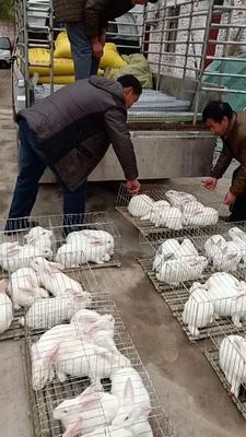 这是一张关于新西兰兔 3-5斤的产品图片