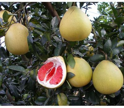 这是一张关于红肉蜜柚苗的产品图片