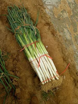 河南省安阳市滑县长白大葱 3cm左右 40cm以上 净葱