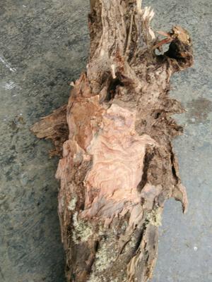 湖南省湘西土家族苗族自治州永顺县造型松 0.5~1米