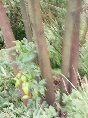 四川省泸州市纳溪区丛生香樟