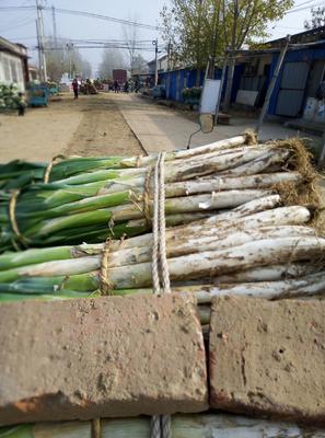 山东省莱芜市莱城区长白大葱 3cm左右 40cm以上 毛葱
