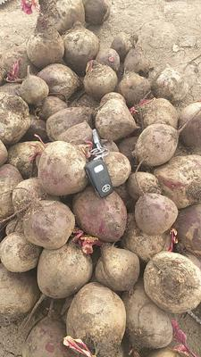 吉林省长春市农安县红甜菜 15~20cm