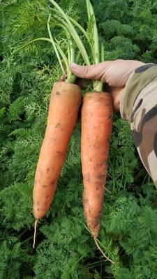 山东省济宁市汶上县人参红萝卜 15cm以上 3两以上 4~5cm