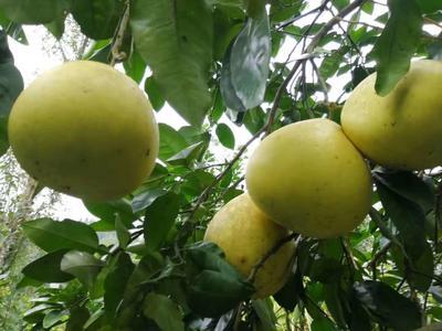 重庆丰都县蜜柚 4斤以上