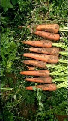 河南省开封市通许县三红七寸参胡萝卜 15cm以上 3两以上 3~4cm