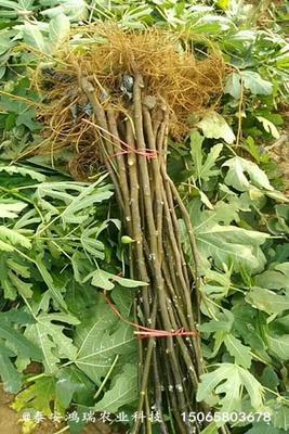 这是一张关于波姬红无花果苗的产品图片