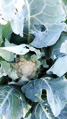这是一张关于天雪菜花 适中 2~3斤 米黄色的产品图片