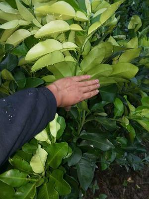 湖北省宜昌市秭归县林娜脐橙苗 嫁接苗 0.5米以下