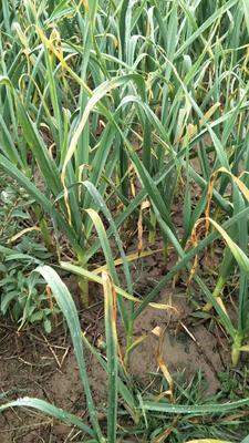 这是一张关于红根蒜苗 40 - 45cm的产品图片