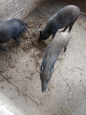 广西壮族自治区桂林市恭城瑶族自治县特种野猪 80斤以上 统货