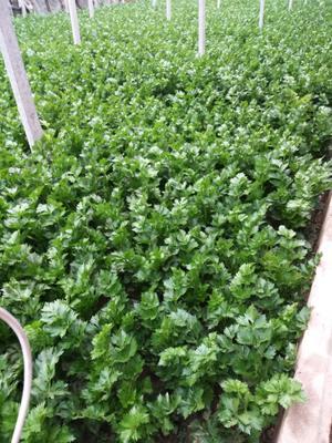 河南省焦作市修武县法国皇后芹菜 45~50cm 大棚种植 1.0~1.5斤