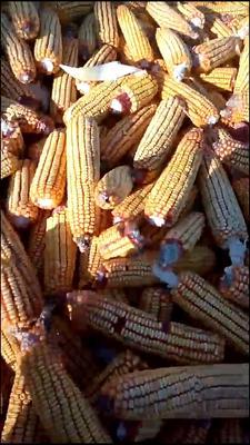 吉林省白城市洮南市玉米湿粮 霉变≤2% 毛货
