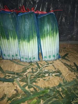 山东省青岛市平度市铁杆大葱 3cm左右 30~40cm 净葱