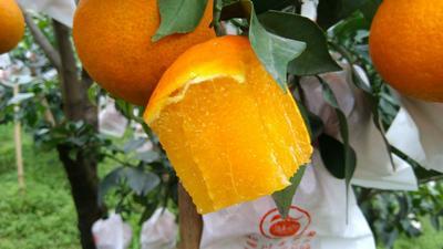 这是一张关于爱媛38号柑桔 7 - 7.5cm 3两以上的产品图片