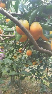 湖南省湘西土家族苗族自治州龙山县比耳脐橙 60 - 65mm 4-8两