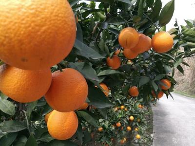 夏橙树苗  0.5~1米 嫁接苗 阿尔及利亚夏橙品种