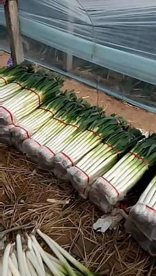 山东省临沂市费县铁杆大葱 3cm左右 40cm以上 净葱