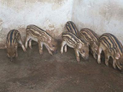广西壮族自治区桂林市恭城瑶族自治县生态野猪 40-60斤 统货